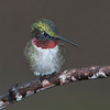 _ASP7793 8x8 Hummingbird
