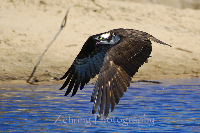 An osprey flying just above the water calls out with its distinctive screech.