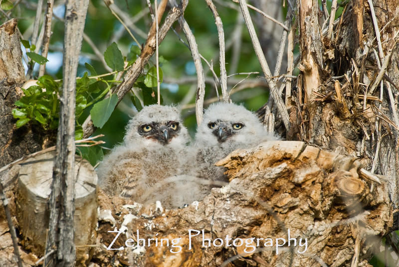 Baby great horned owls starting to shed thier down feathers and begining to show the camouflage colors thier mature feathers will have.