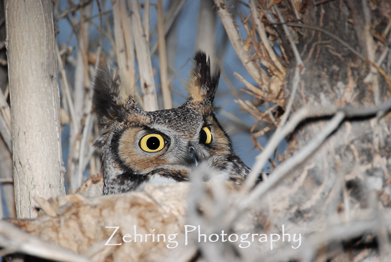 Fantastic eyes of a great horned owl seems to look right through you.