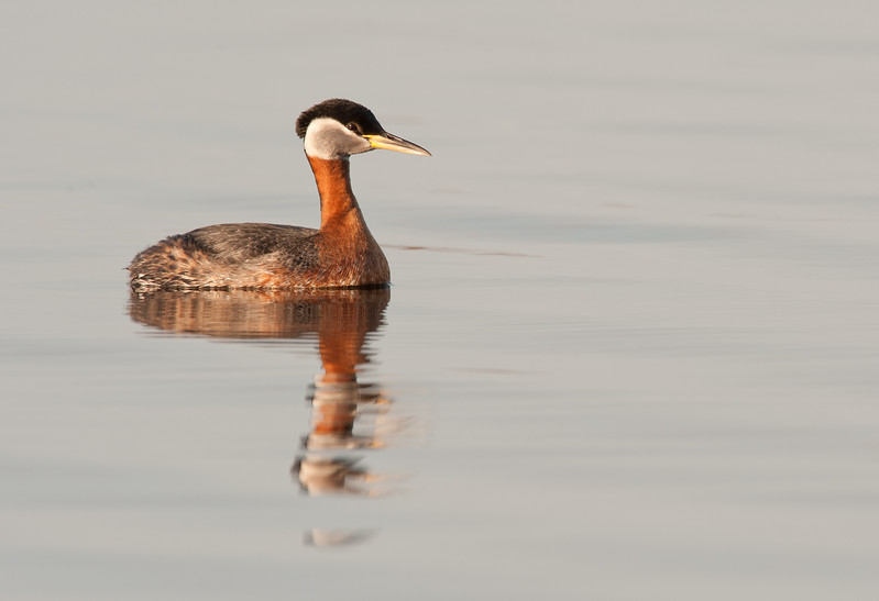 _ASP6599 Red-necked Grebe