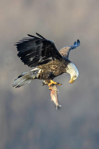 _ASP4738 eagle with Fish prv 16x24