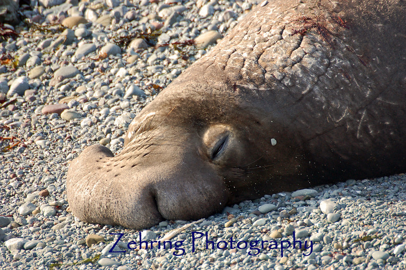 A bull elephant seal takes full advantage of the warm afternoon California sun.