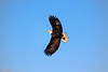 _ASP7365 Eagle in Flight