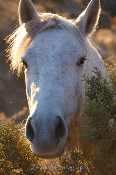 A wild mustang mare grazes in the late afternoon sun of the Nevada back country.
