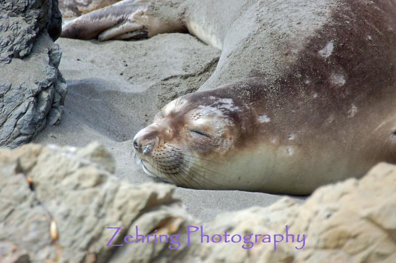 An adult female elephant seal takes an afternoon siesta on the warm sands of the California coast.