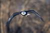 _ASP7423 Eagle in Flight CRPR 16x24 Dark
