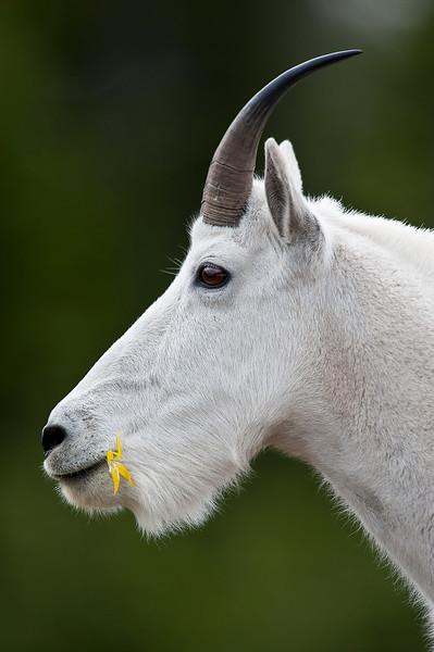 _ASP4749 Mt Goat