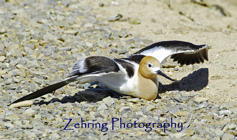 Acting like awounded bird this avocet parent hopes catch my attention away from her nest.