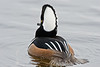 Male Hooded Merganser 3