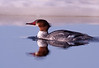 Common Merganser (Female) 3