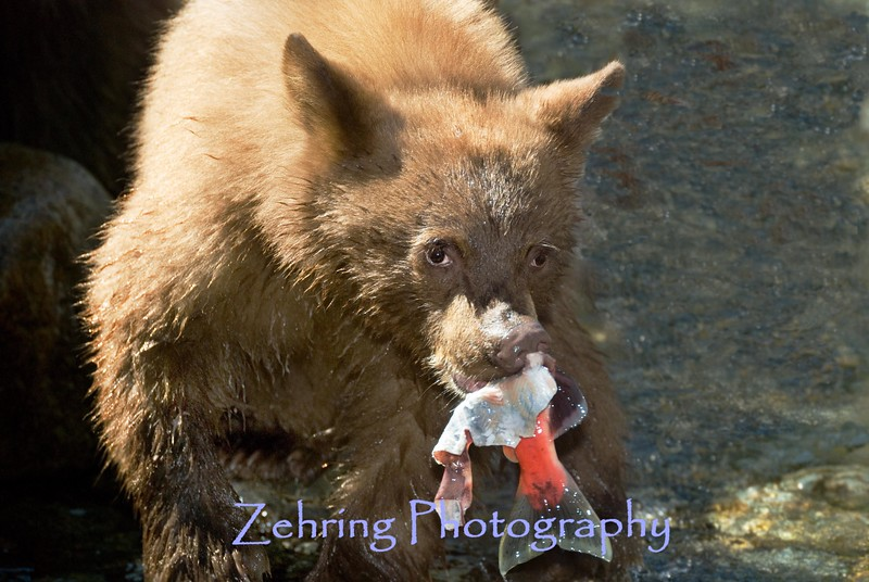 Bear cub enjoys a fresh caught salmon at Taylor Creek CA