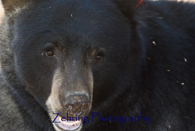 Nose to nose, a large black bear foraging at Lake Tahoe CA