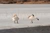 Trumpeter Swans Sunning