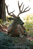 An adult mule deer buck enjoys a relaxed moment in the shade of the Sierra Nevadas