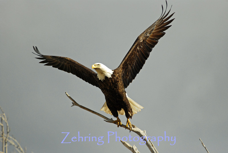A bald eagle taking flight.