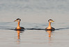 _ASP6507 Red-necked Grebes