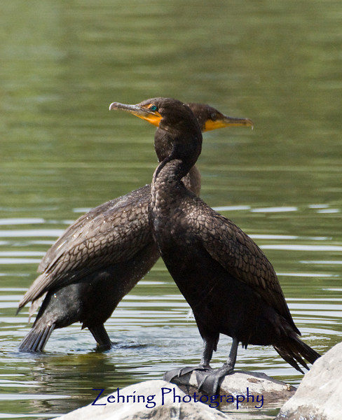 A pair of double-crested cormorants perch on the water's edge