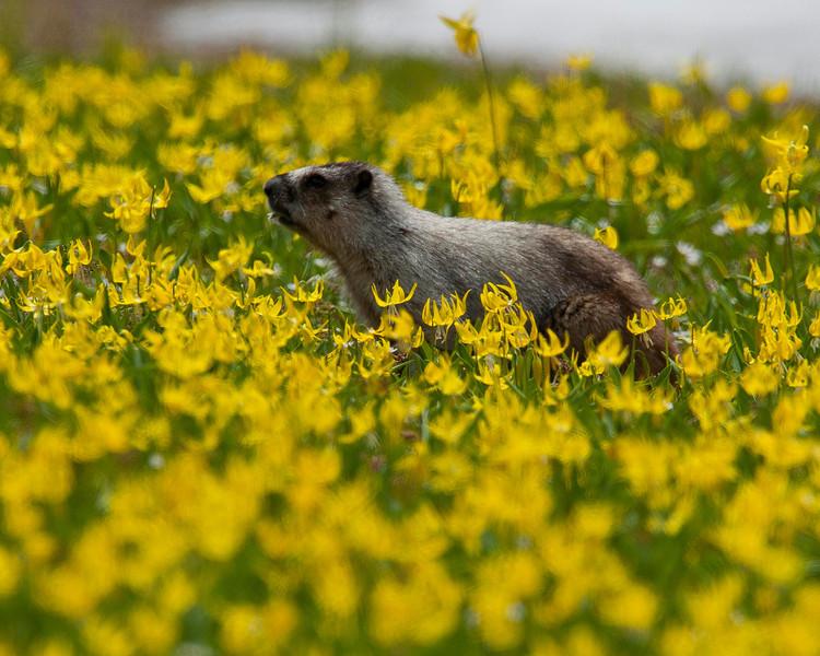 Hoary Marmot Crop