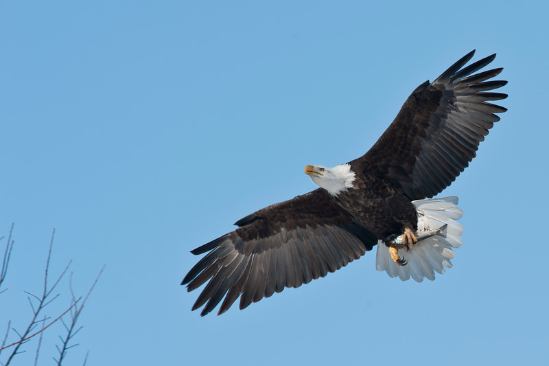 _ASP3561 cr Bald Eagle