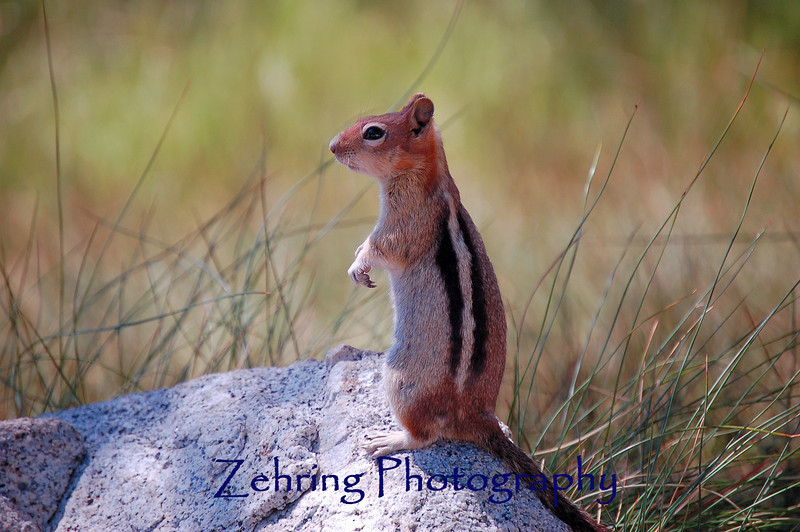 A chipmunk takes a vantage point to look for food.