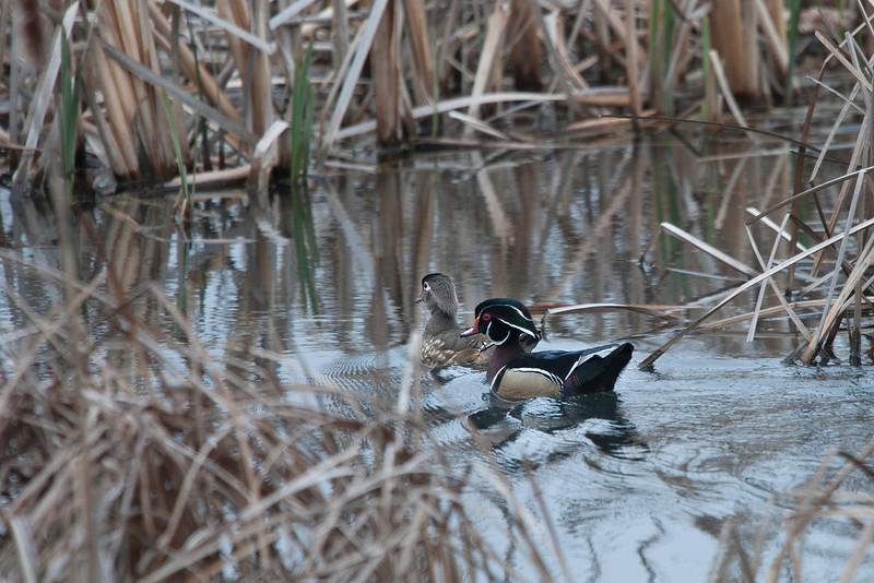 _ASP4439 Wood Duck Pair