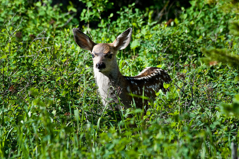 Muel Deer Fawn