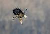 _ASP4738 eagle with Fish