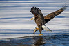 _ASP7930 Eagle with Fish Full