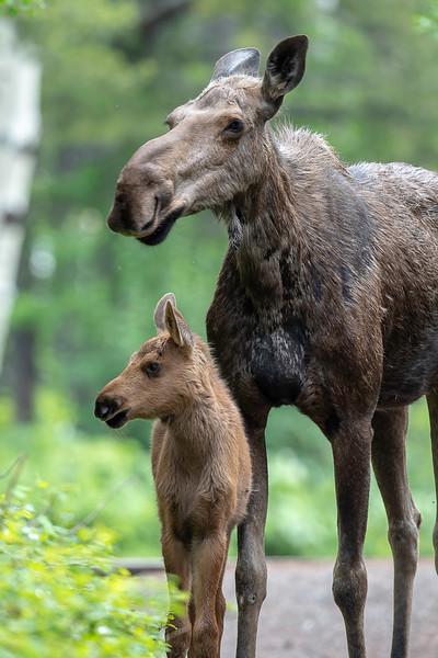 _ASP0245-1 Cow and Calf Moose