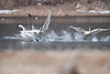 Trumpeter Swans Fighting 2