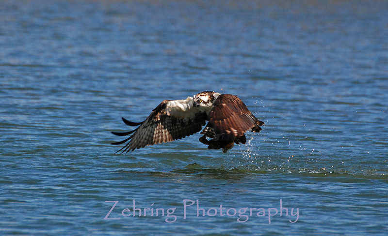 "Osprey takes off with lunch ""in hand""."