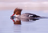 Common Merganser (Female) 2