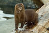 A mink pauses to figure me out.