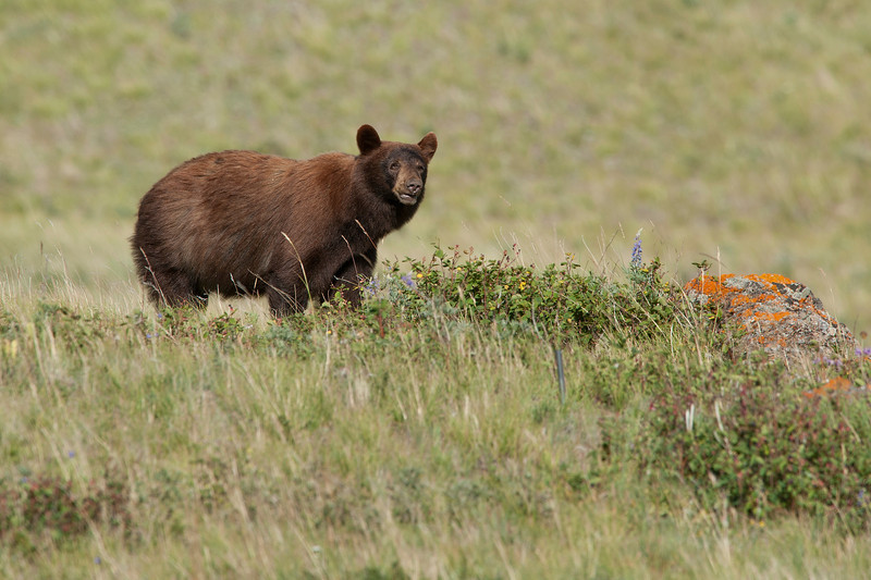 Waterton Brown Bear