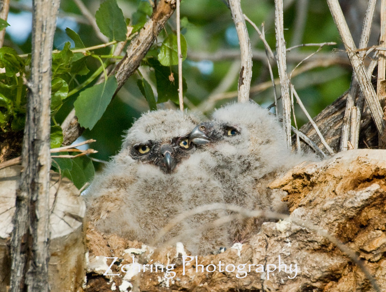 A pair of baby great horned owls cuddles together, maybe for security, mostly for lack of room.
