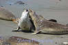 A  pair of adult female elephant seals have an afternoon dispute over territory, on a California beach.