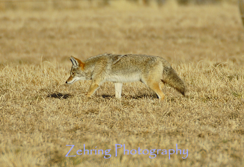 Coyote searchs for field mice in the late afternoon sun.