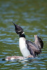 _ASP2255-1 Loon and Baby CRV