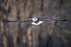 _ASP7430 Eagle in flight pr 16x24 dark