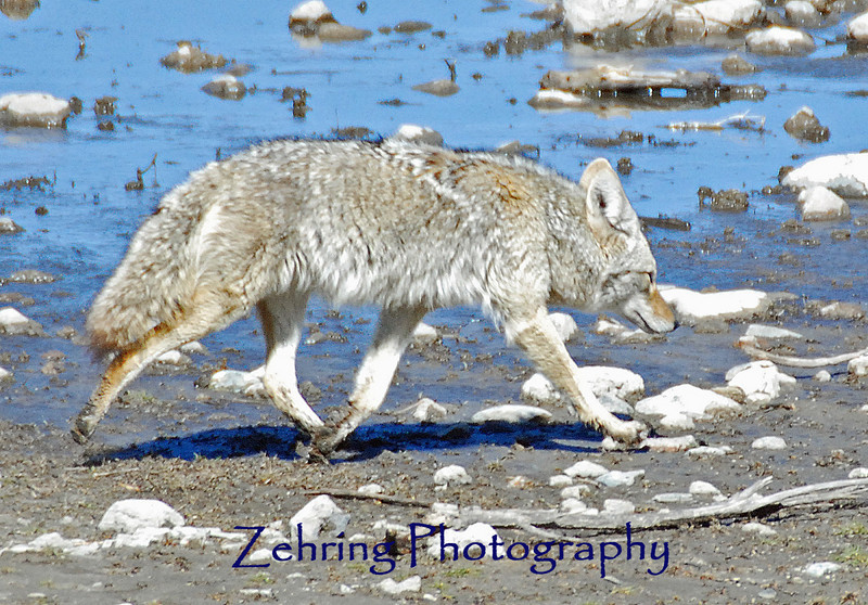 Coyote roams the afternoon beach at Washoe Lake looking for an opportunistic morsel.