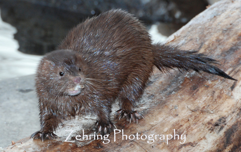 A mink foreges along the river bank