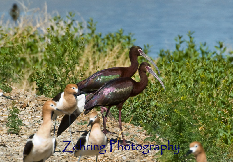 A pair of whitefaced ibis temporarily join with aflock of nesting avocets in the hope of sharing in the local marsh quisine.