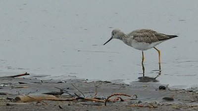 Greater Yellowlegs of Kitsap County Washington  http://www.birds.cornell.edu/programs/AllAboutBirds/BirdGuide/Greater_Yellowlegs_dtl.html