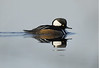 Male Hooded Merganser 4