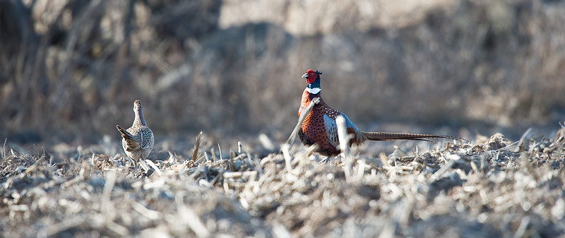 Rooster  & Hen Pheasant