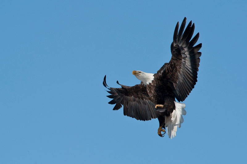 _ASP3565 cr Bald Eagle with catch
