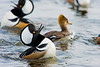 Mating Mergansers