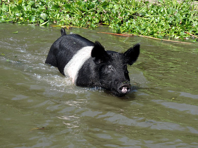 Wild Pigs of the Delta