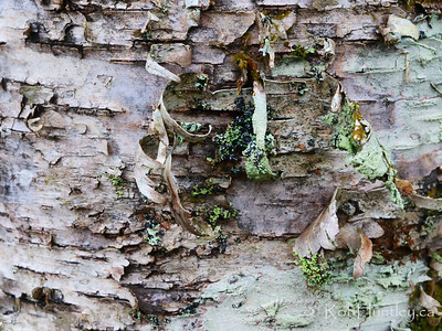 Birch tree with peeling bark and lichens.